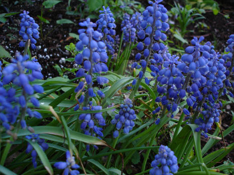 Hyacinth Bunch