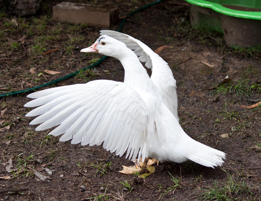 White Duck Stock 2 by CNStock