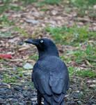 Crow Stock