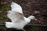 White Duck Stock 4