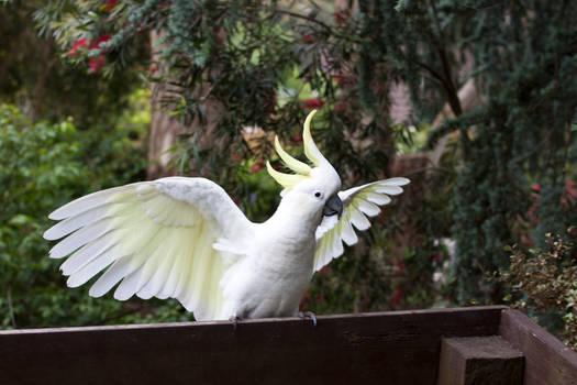 Cockatoo Wing