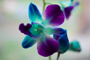 Purple Orchid Stock