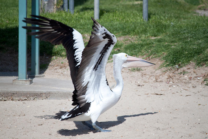 Large Pelican Flying Stock 2