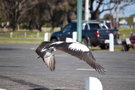 Large Pelican Flying 3