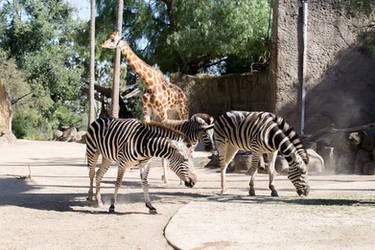 Zebra Stock