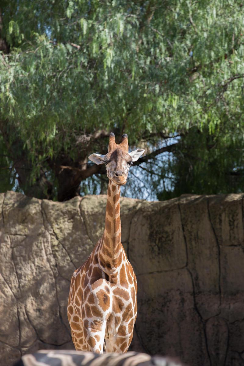 Giraffe Stock