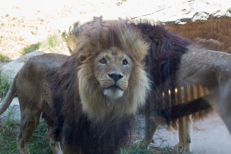 Lion Stock 1