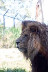 Lion Stock 2