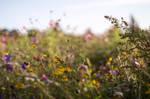 Wild Flower Summer Field 1