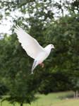 Dove in Flight - Stock