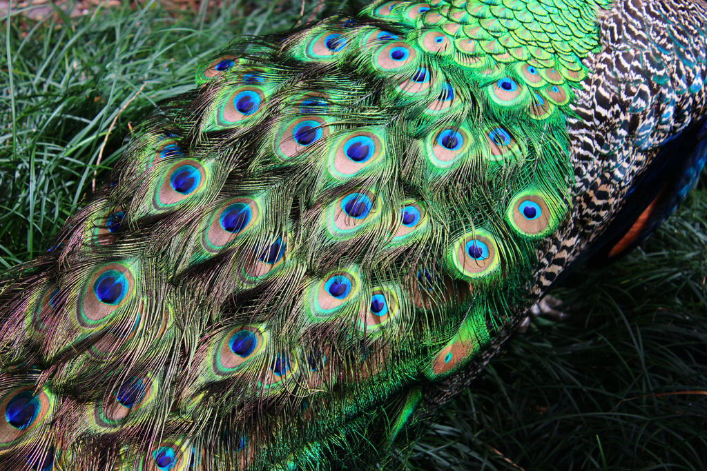 Peacock Colors by RhiskandPeril