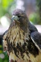 Fluffy Hawk by RhiskandPeril