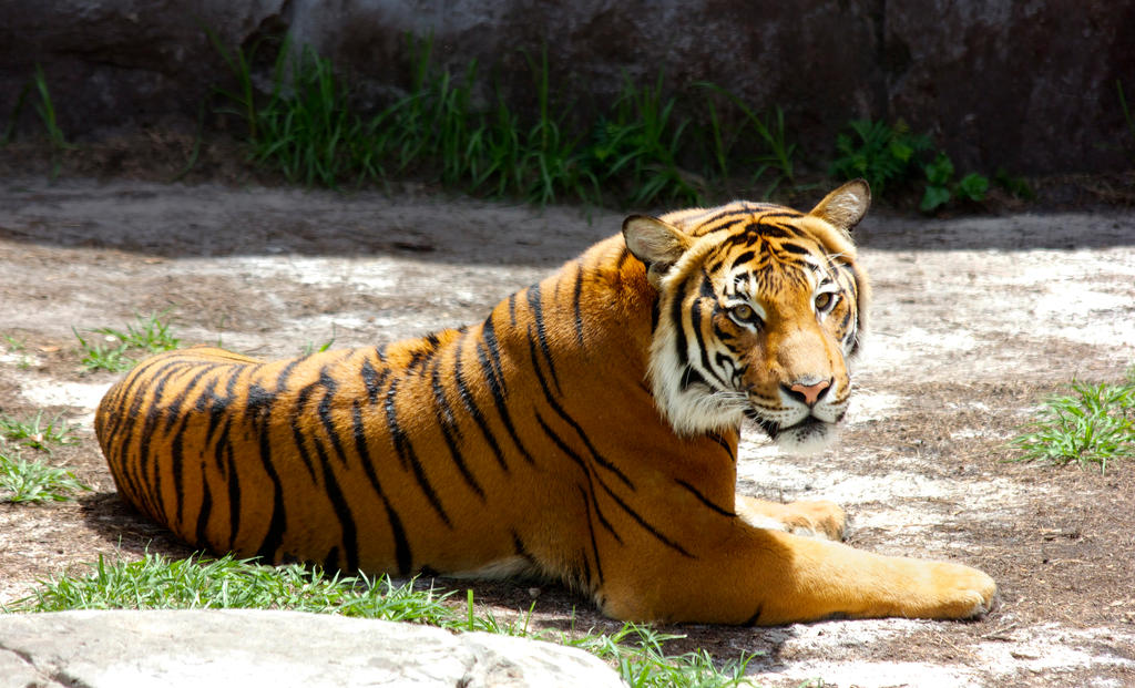 Sumatran Tiger by RhiskandPeril