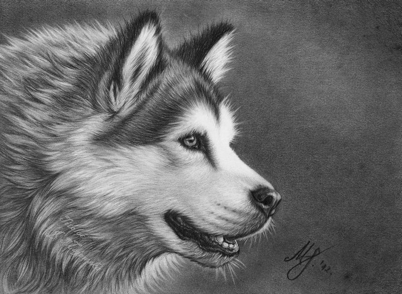 Malamute drawing by titol87