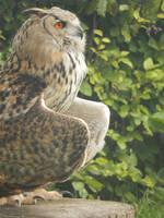 Castlefest - birds of prey 6 by queenofeagles