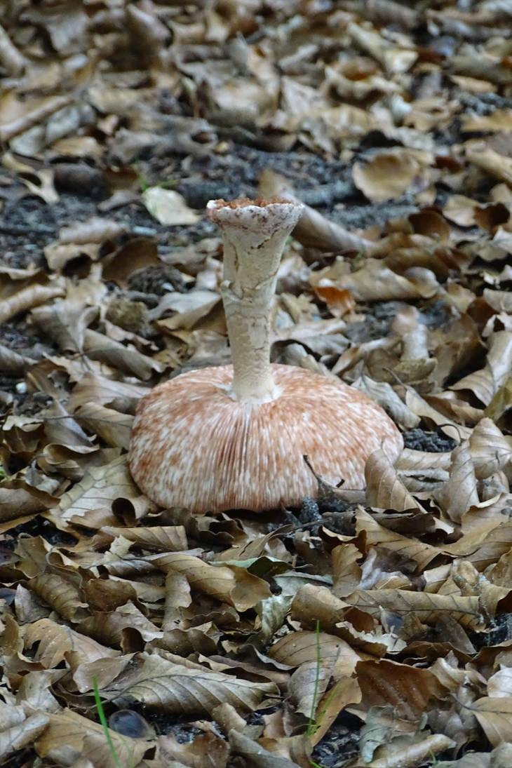 Australian mushroom