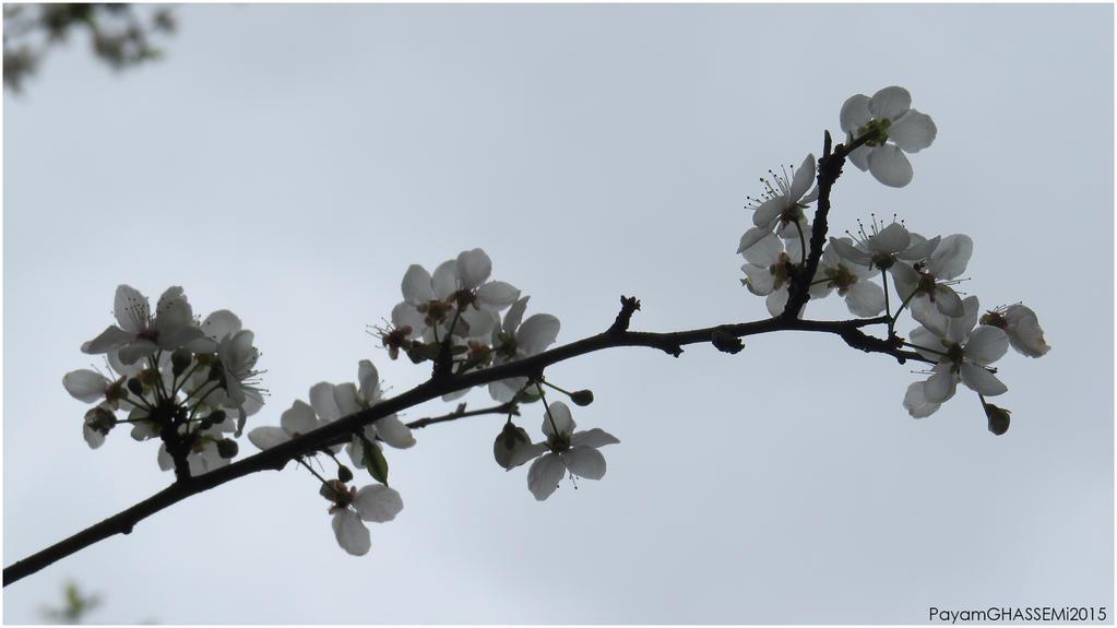 Spring - Blossom 01 by pnpayam
