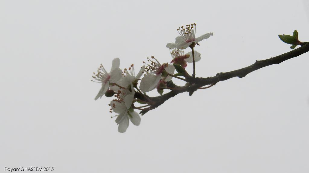 Spring - Blossom 02 by pnpayam