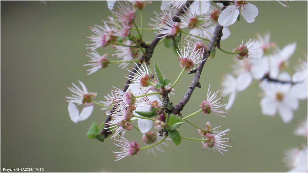 Spring - Blossom 03 by pnpayam