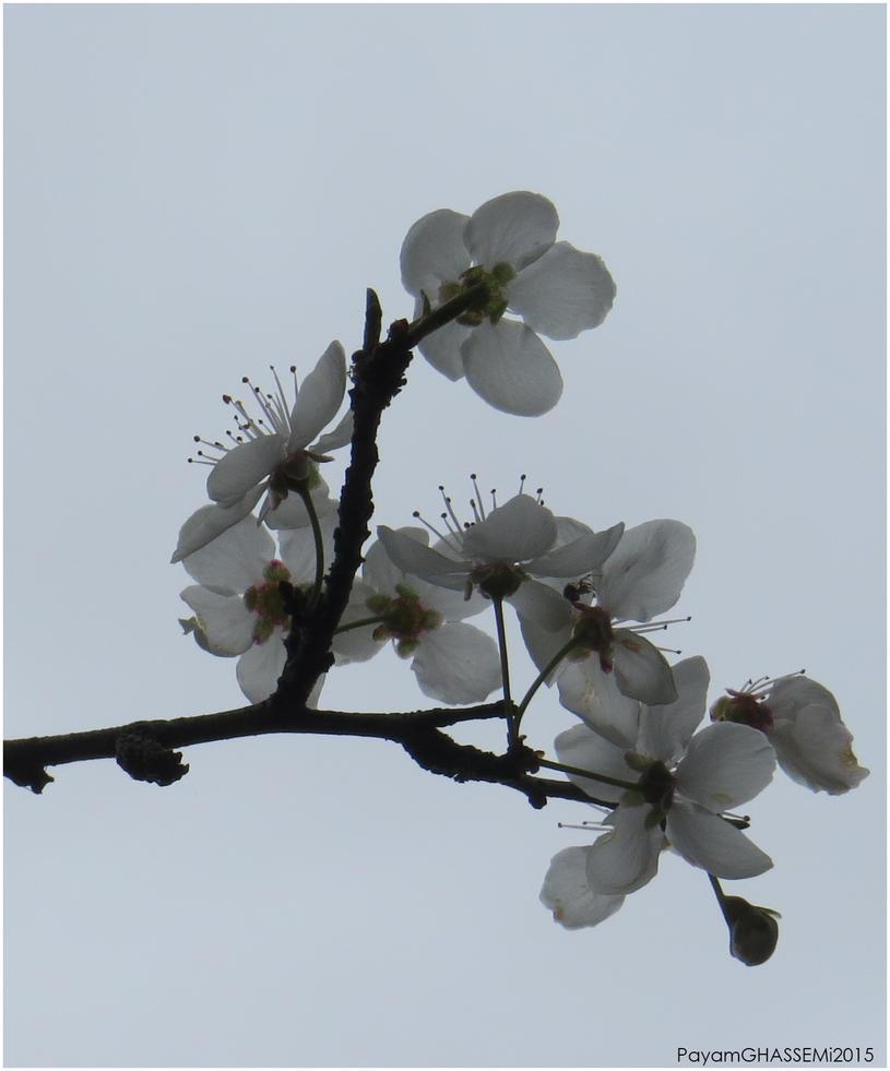 Spring - Blossom 04 by pnpayam