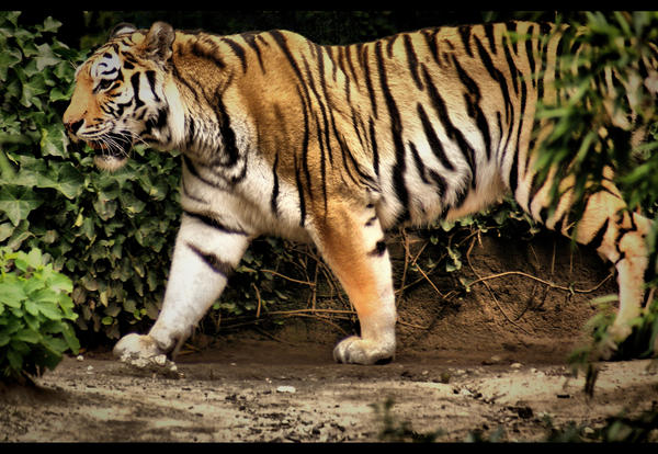 Tiger by heyrem