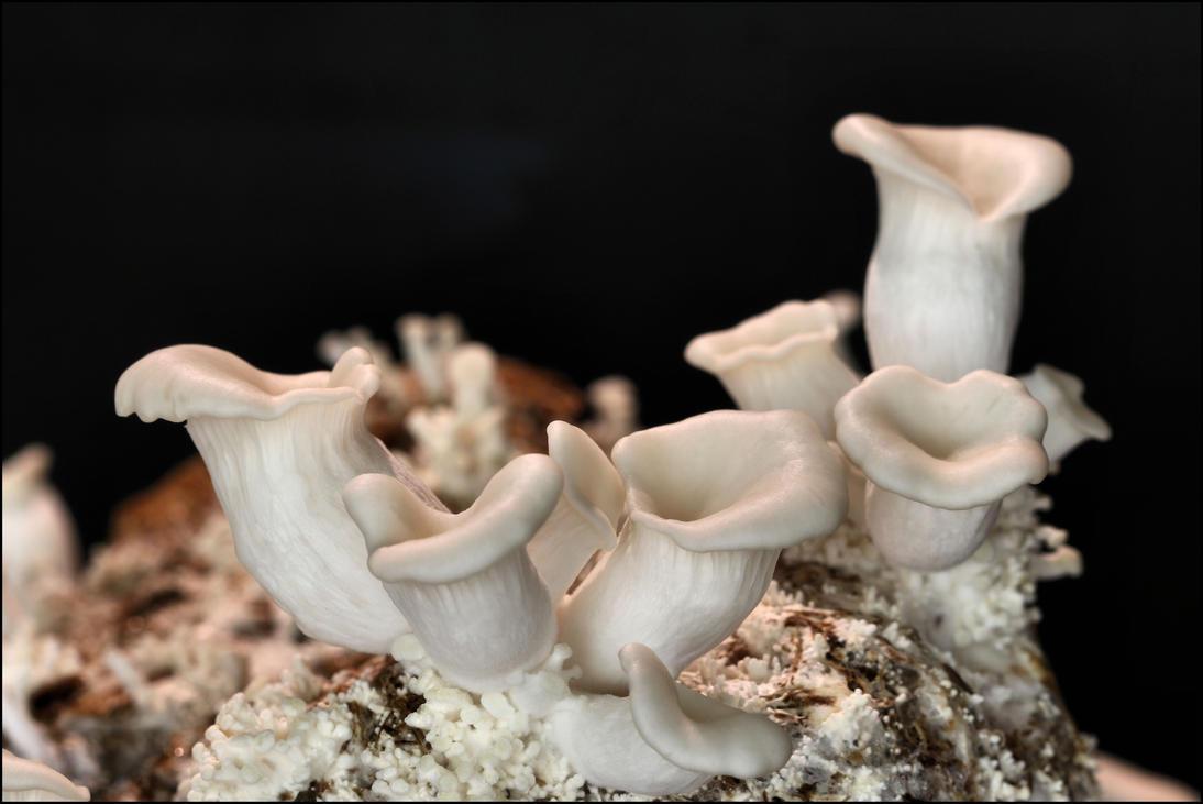 Pleurotus ostreatus, Home grown. by Davenwolf
