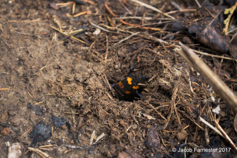 American Burying Beetle by PariahLycan