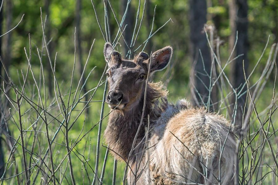 Muskogee - Elk by PariahLycan