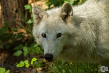 Polarwolf - Klein Auheim
