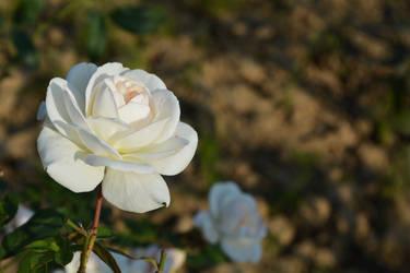 White Rose 3