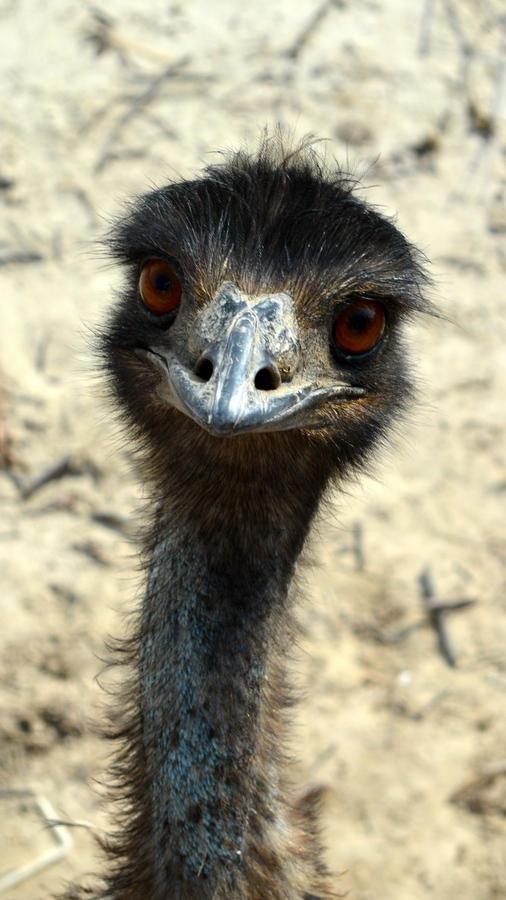 Emu by ZeeShiKing