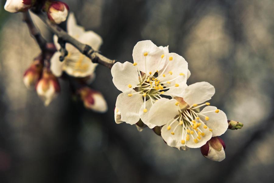 Какие цветы у абрикоса