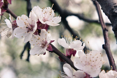 Apricot flowers 4, Donetsk by daily-telegraph