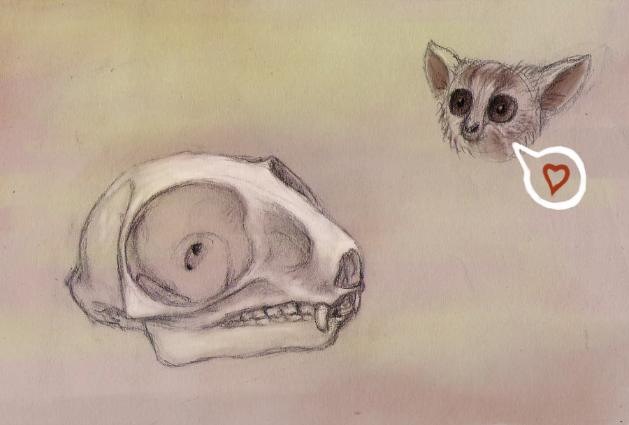 Galago Skull Study by Snashyle