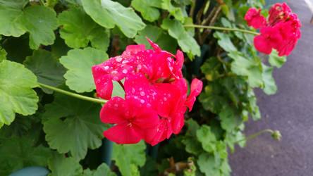 Pink Geranium by Nyctimene