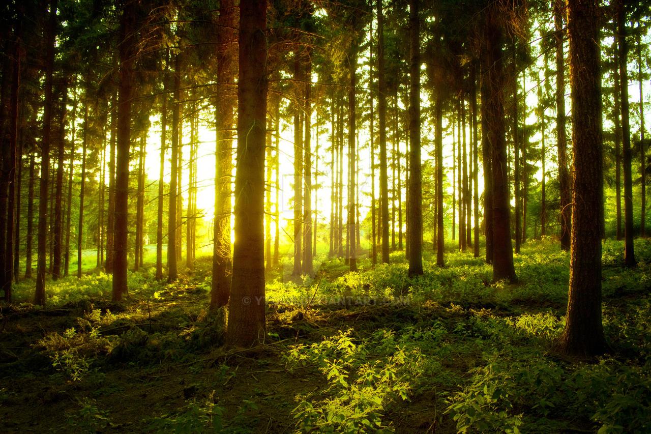 forest at sunset by ytoob on deviantart. Black Bedroom Furniture Sets. Home Design Ideas
