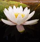 Seerose by MagicElisabeth