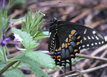 Black Swallowtail by tlangston28