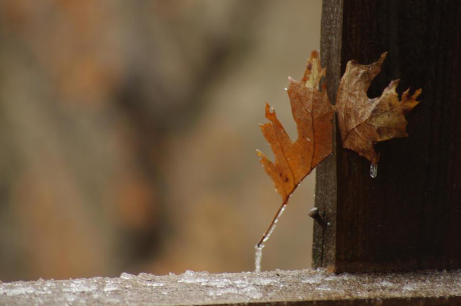 Frozen Leaf wallpaper > Frozen Leaf Papel de parede > Frozen Leaf Fondos