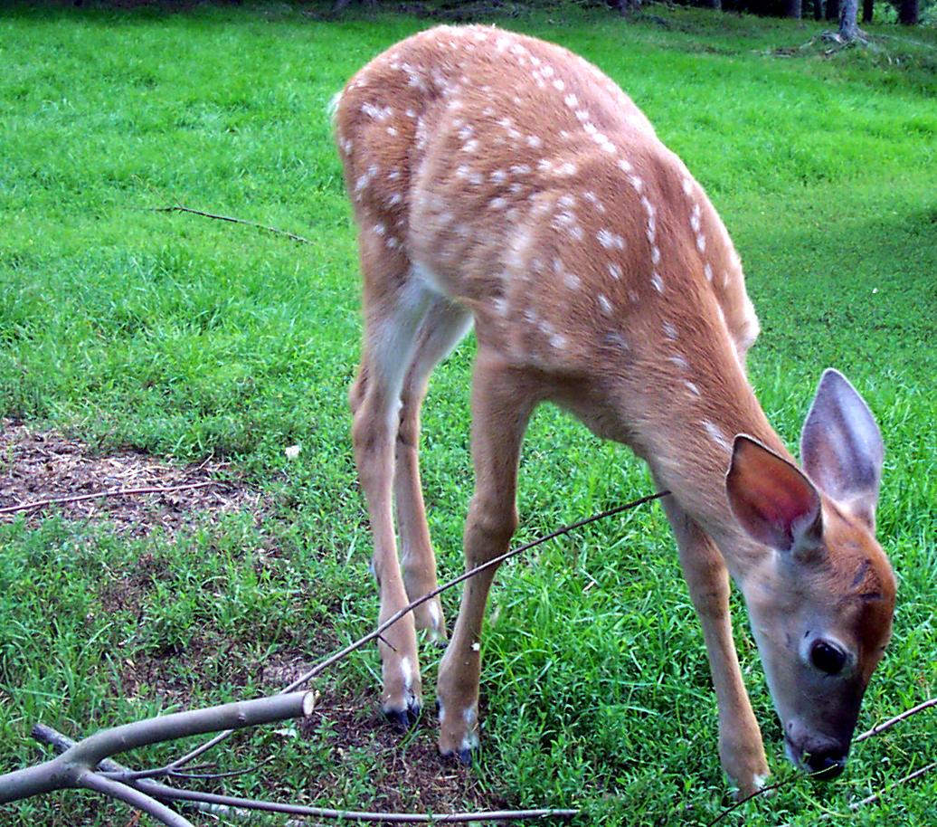 Deer by petrolgimpy