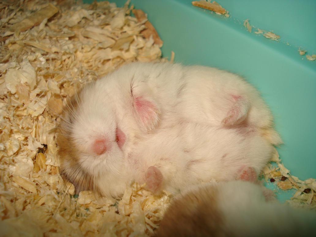 Sleeping meatball   Hamster, Hình ảnh  Cute Baby Hamsters Sleeping