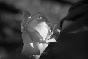 White Rose by polygonbronson