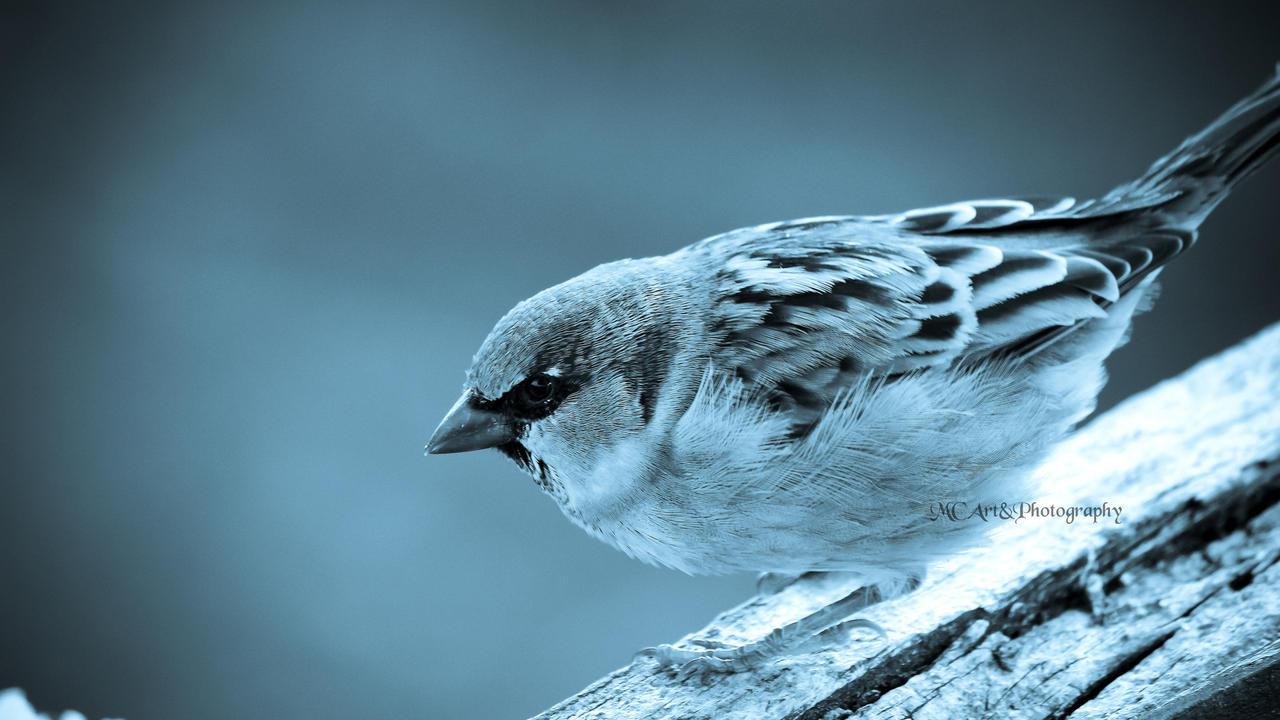 The Male Sparrow by carlusdarienus