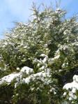 Cedar Tree by iTzFatalX