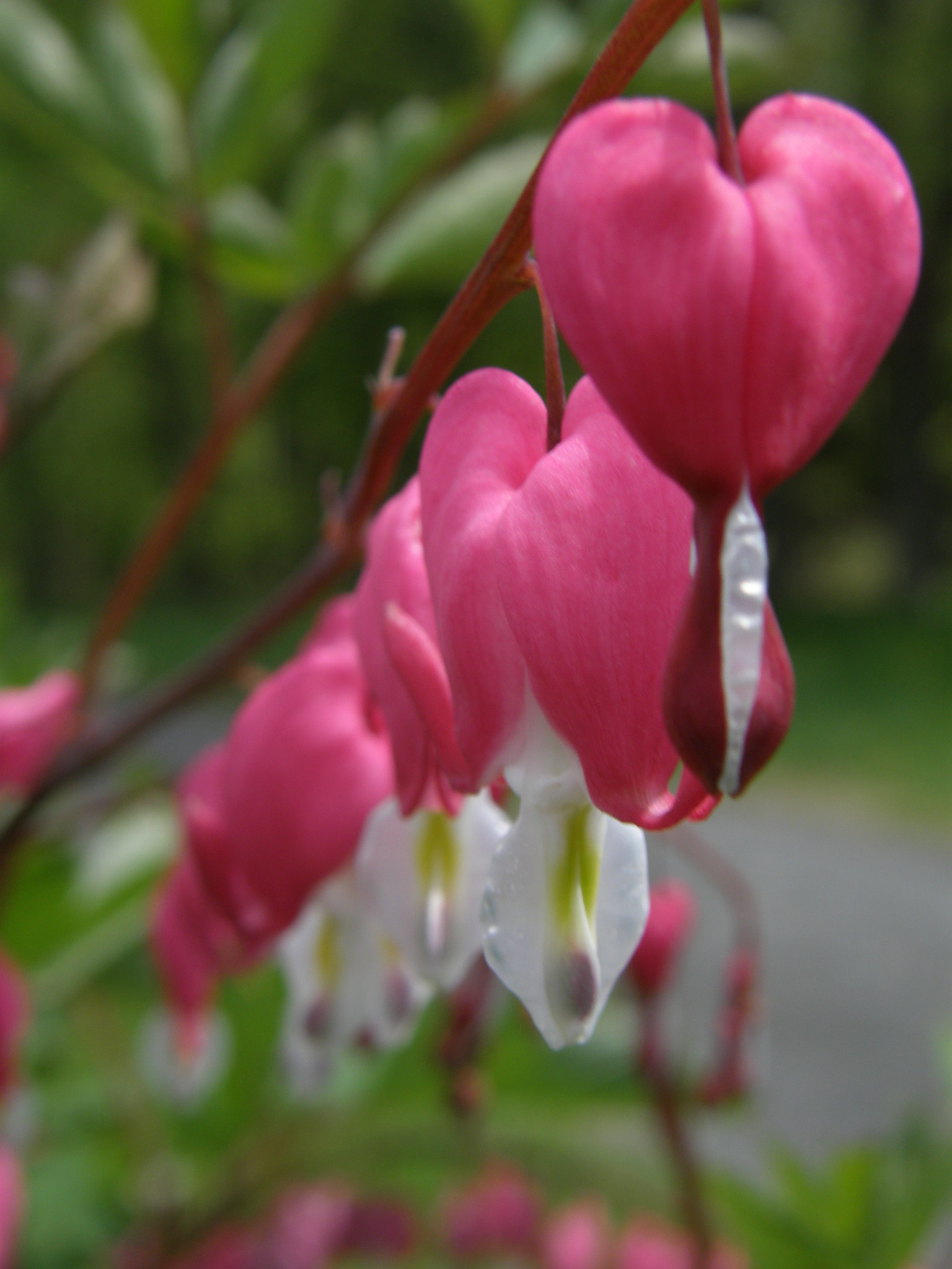 Bleeding Hearts by thecraftinista