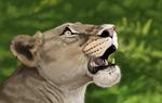 Lioness Head