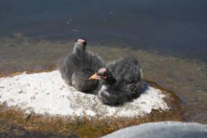 Baby Zoo Birds 1 by destinysWalrus