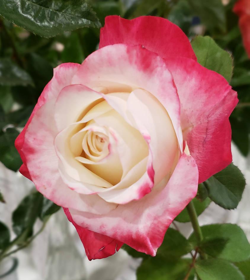 Rose 70 - Bold and Beautiful