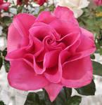 Rose 91 - Hot Princess