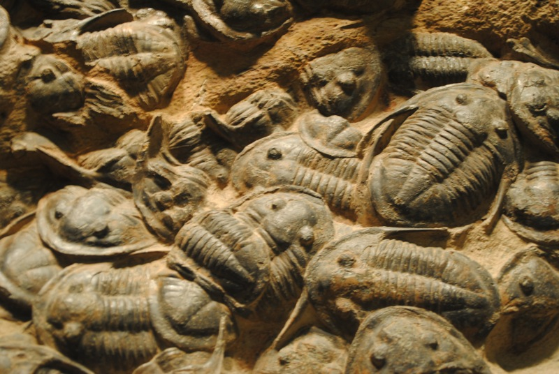 Fosili - Page 5 Trilobite_fossils_by_reguladestroya-d5vpk2t